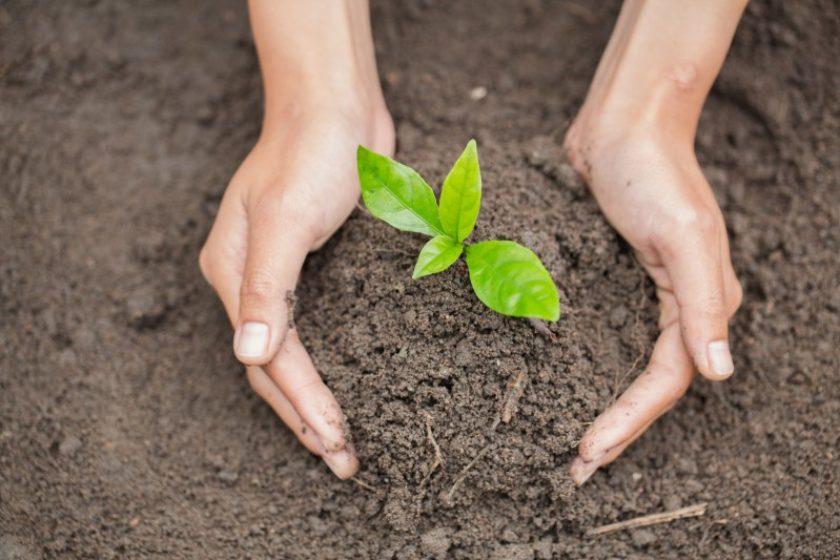 Plazenta Nach Der Geburt unter Baum vergraben