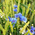 cornflowers and camomiles and wheat in field