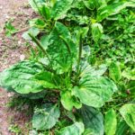 bush of plantain